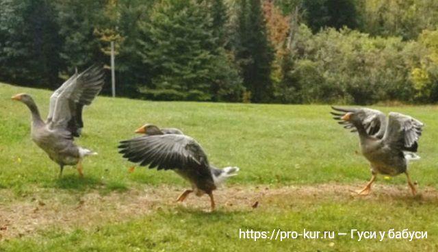 12 забавных фактов о домашних гусях на примере Ландской породы.