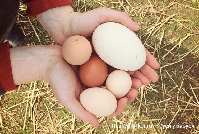 Размер гусиного яйца по сравнению с куриным яйцом.