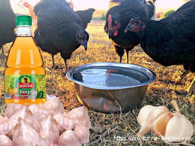 Чеснок курам несушкам, цыплятам и бройлерам: как давать?
