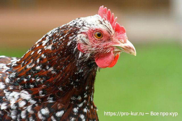 Цвет гребешка курицы расскажет о ее здоровье.