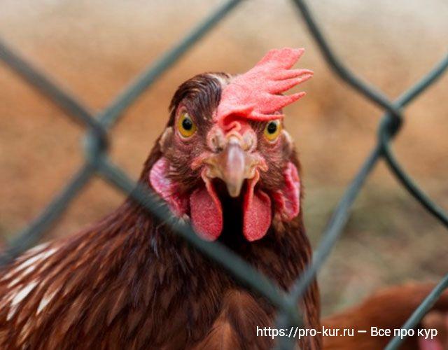 Прикольная курица фото.