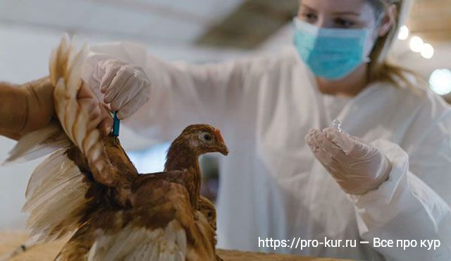 Вакцинация цыплят.