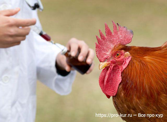 Как правильно лечить и проводить вакцинацию кур.