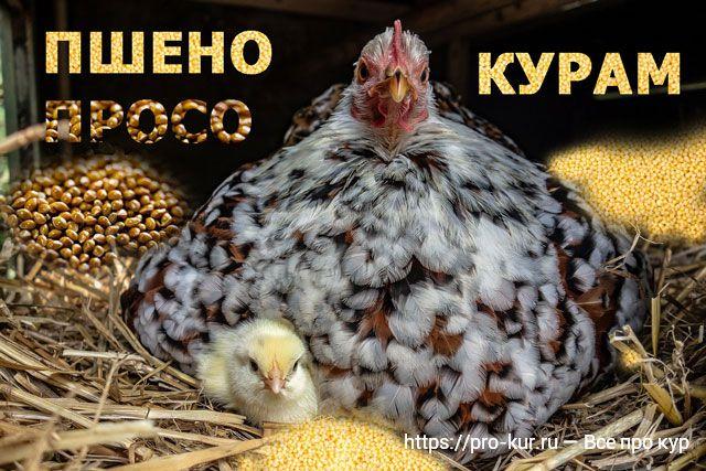 Как давать пшено цыплятам и курам несушкам и бройлерам?