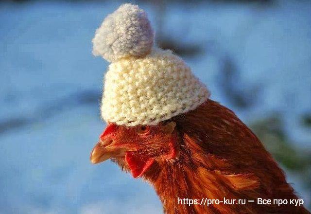 Курица в шапочке фото.
