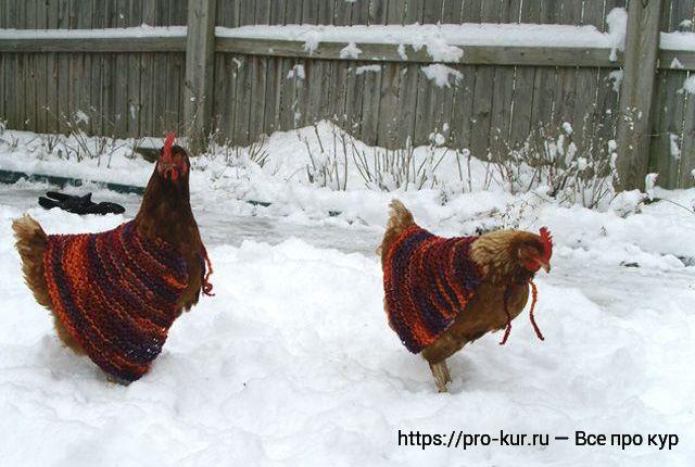 Куриные свитера и 7 причин отказаться от них зимой.