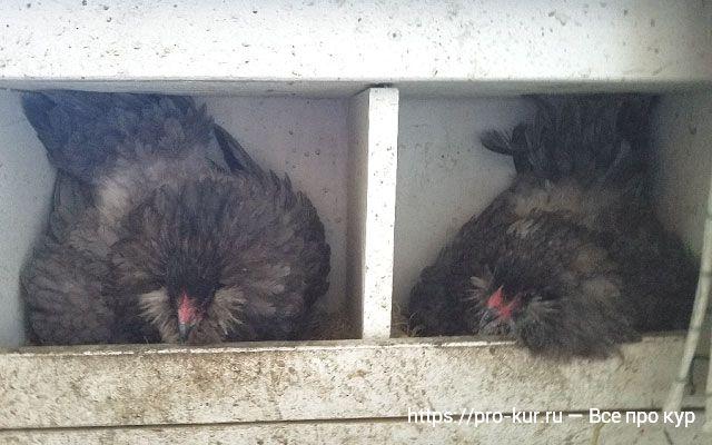 Почему несушки в одном гнезде несутся?