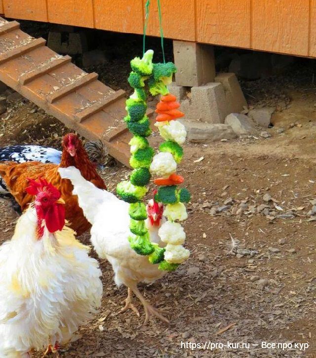 Кормление кур несушек цветной капустой.