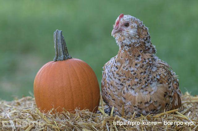 Тыква курам несушкам, цыплятам и бройлерам.