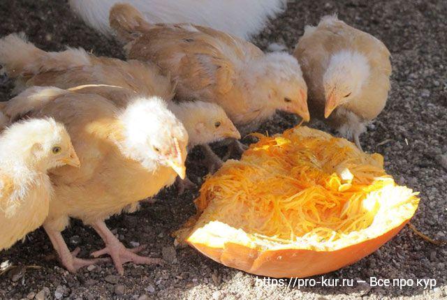 Тыква для цыплят бройлеров.