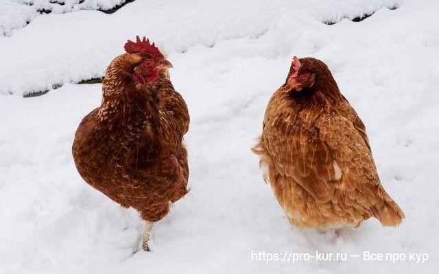 Когда кур закрывают на зиму в сарай