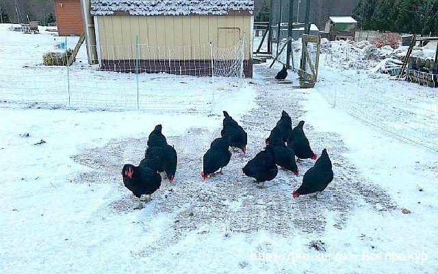 Зимовка кур в неотапливаемом курятнике – 5 важных советов.