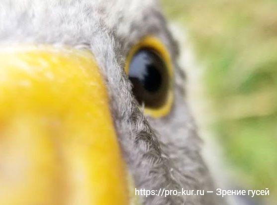 Зрение гусей – интересные факты, как гуси видят мир.