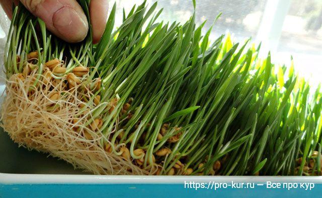 Как проращивать зерно для кур пошагово с фото.