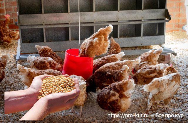 Соя курам несушкам, цыплятам и бройлерам: польза или вред ГМО?