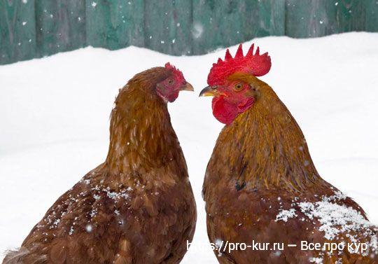 Зимний рацион кур несушек – рецепты и обязательные компоненты.