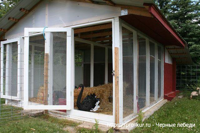 Черные лебеди – выращивание и разведение в домашних условиях.