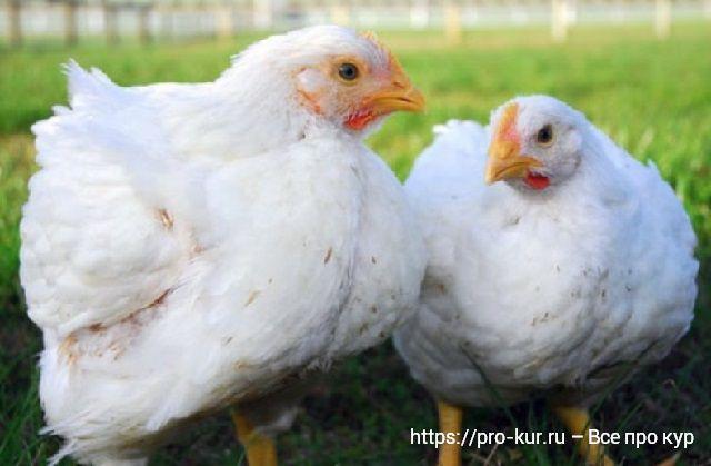 Цыплята бройлеры фото.