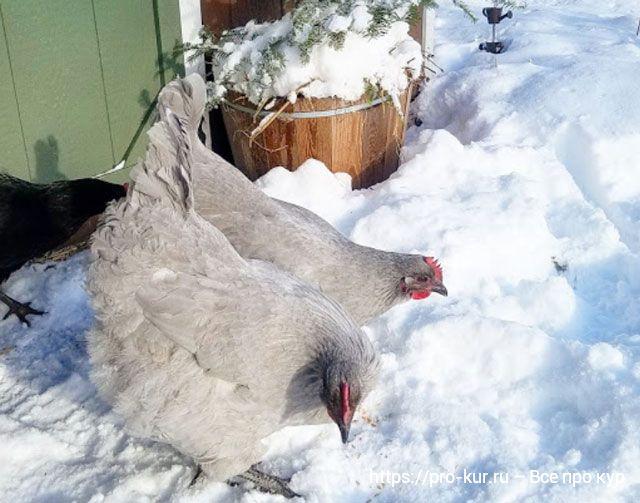 5 советов, как помочь курам пережить зиму и не замерзнуть в морозы.