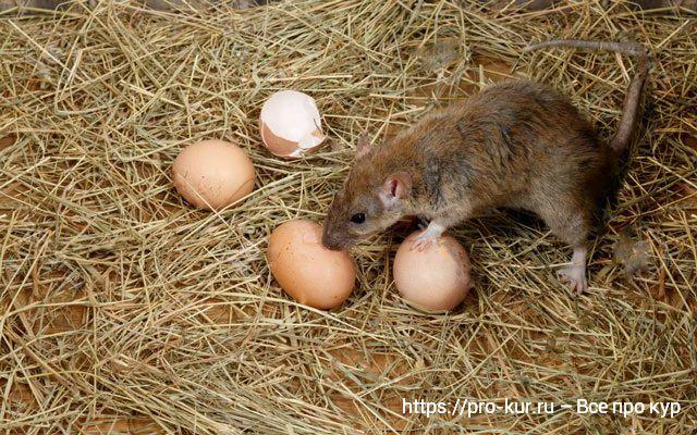 Крыса ворует куриные яйца фото.