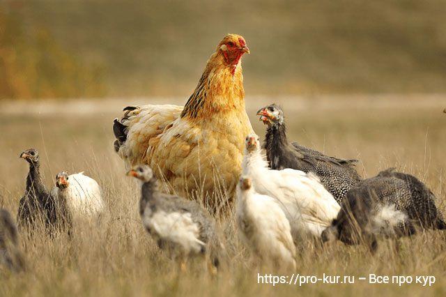 Выведение цесарят под курицей, индюшкой и цесаркой. Кормление.