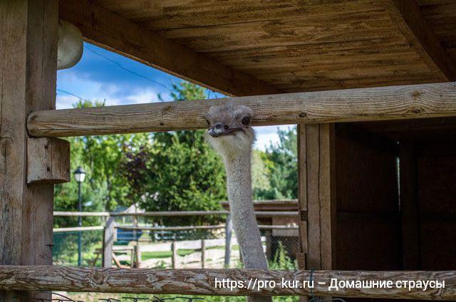 Разведение страусов в домашних условиях.