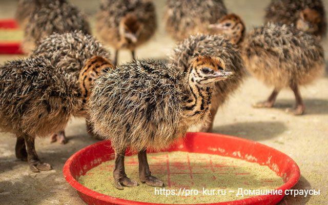 Домашние страусы как бизнес, разведение, цены и видео.