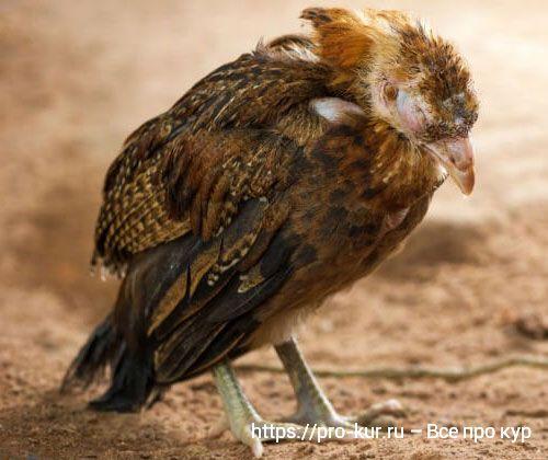 Птичий грипп h5n1 что это такое и чем опасен для домашних кур.