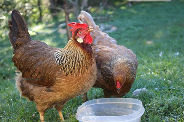 Вода курам несушкам, цыплятам и бройлерам: сколько нужно и какую давать.