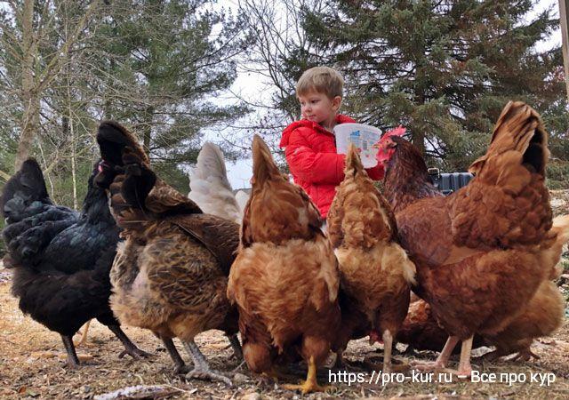 Здоровье кур и что делать, чтобы несушки не болели.