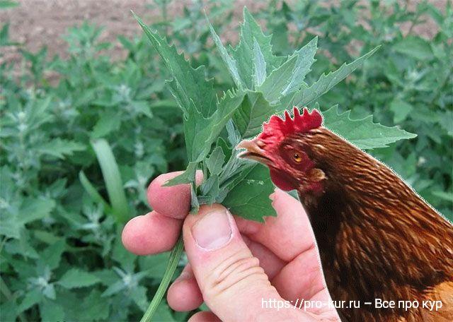 Лебеда для кур несушек и цыплят – польза и вред.