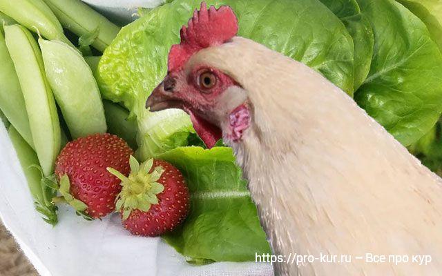 Лучшие растения для кур и цыплят.