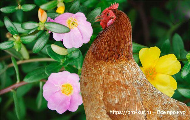 Портулак огородный курам и цыплятам как давать?