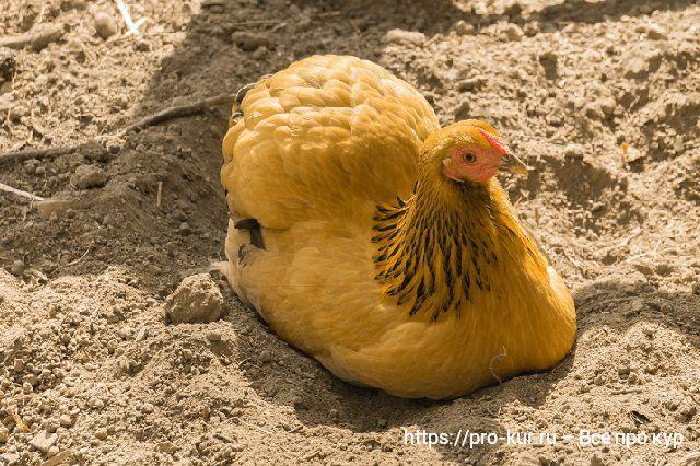 Песок курам как ванна для купания.