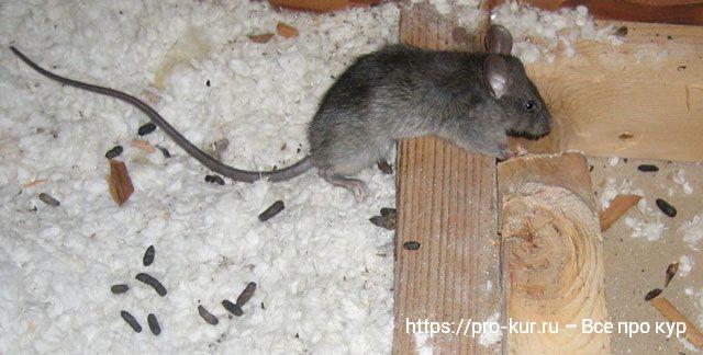 Помет от крыс и мышей в курятнике – как отличить и что делать?