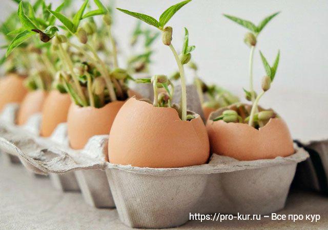 Рассада в яичной скорлупе как и что потом делать?
