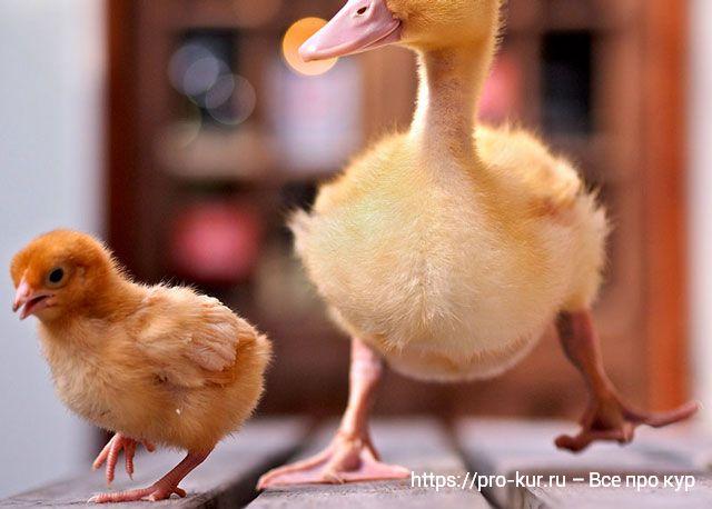 Содержание бройлерных цыплят с утятами вместе в первые дни жизни.
