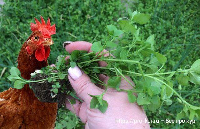 Трава мокрица в кормлении цыплят и кур.