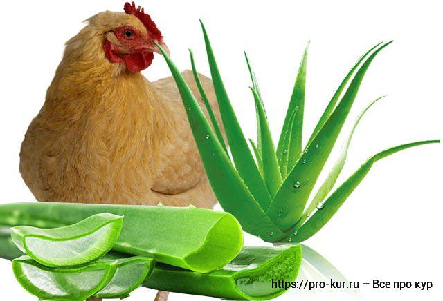 Алоэ вера для кур и цыплят как давать?