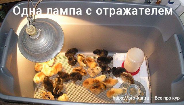 Цыплята под лампой – как долго нужен обогрев и сколько градусов.