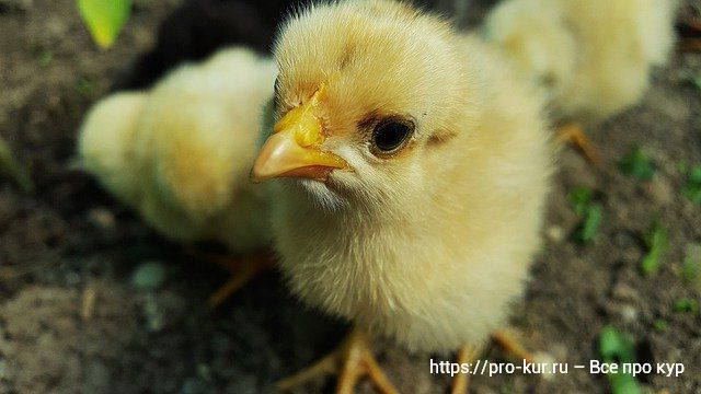 Цыплята в первую неделю жизни – 5 правил.