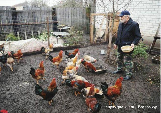 Как дед выводил цыплят в шапке и выращивал цыплят.