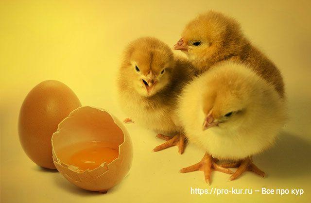 Инкубация яиц в домашних условиях пошагово.