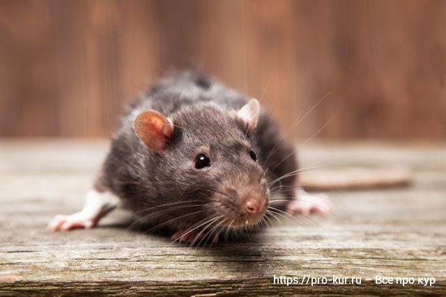 Крысиный яд применение в курятнике и на участке.