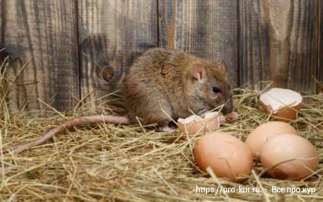 Крысы в курятнике мифы и правда о способах борьбы.