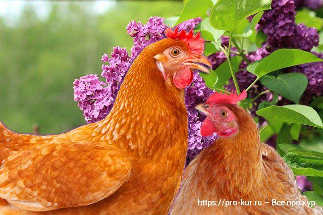 Май в курятнике! Забота и цыплятах и курах.
