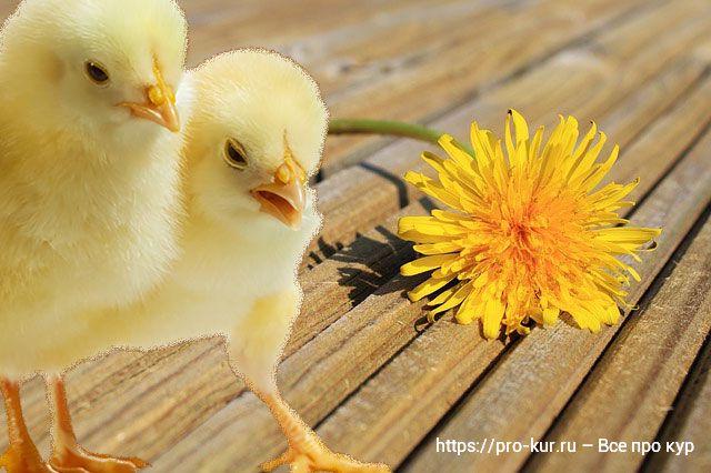 Цыплята и одуванчик.