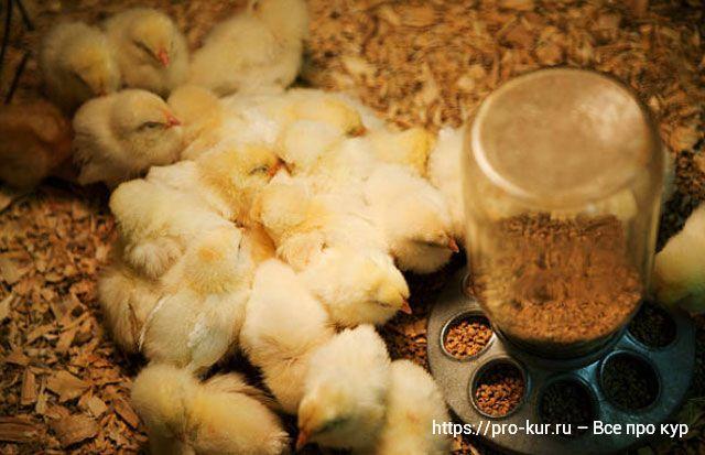 Выращивание цыплят в домашних условиях для начинающих с нуля.