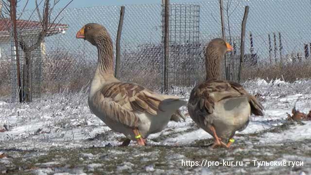 Тульские гуси зимой.