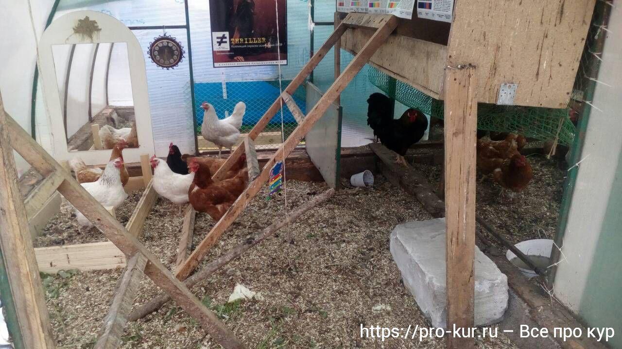 Как подрезать клюв курице в домашних условиях и чем лучше стричь?